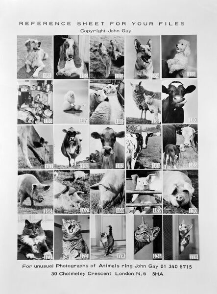 Photograph of promotional reference sheet of unusual photographs of animals taken by John Gay. November 1970. cow, cattle, calf, lamb, chick, pig