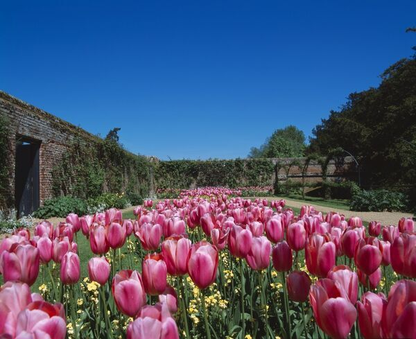 AUDLEY END HOUSE AND GARDENS, Essex. A view of tulip flowers in the walled garden during Spring