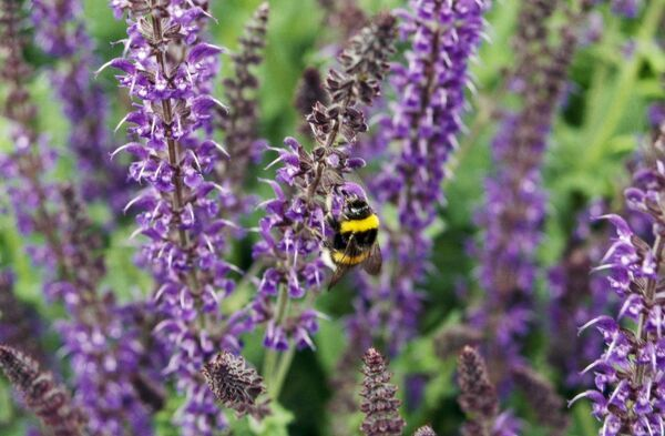 ELTHAM PALACE, Greenwich, London. A white tailed bumble bee ( bombus lucorum ) feeding on sage ( salvia haematodes ) flower