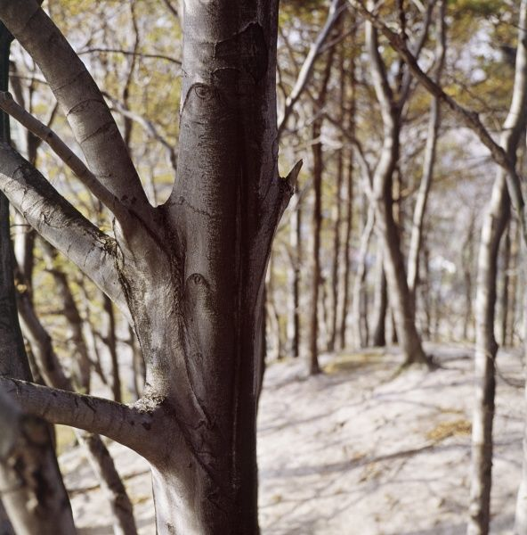 SHARPENHOE, Streatley, Bedfordshire. A close up of a beech tree trunk on Sharpenhoe Clappers. Photographed by John Gay c.1960s
