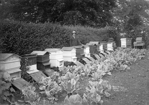 BEEKEEPER AT STOW LODGE, Wyck Hill, Wick Rissington, Gloucestershire. People have kept - or at least exploited - bees for centuries, possibly since the first century BC. In the 18th and 19th centuries beekeeping became an important activity in England