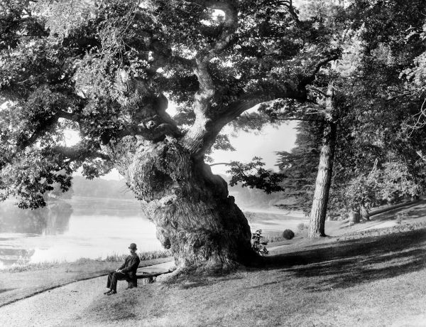 BLENHEIM PARK, Woodstock, Oxfordshire. An old oak tree standing on the bank of the Great Lake in Blenheim Park. A gentleman is sitting on the semi-circular bench underneath the tree. Photographed in 1890 by Henry Taunt