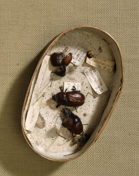 DOWN HOUSE, Kent. Box containing beetles and beetle fragments