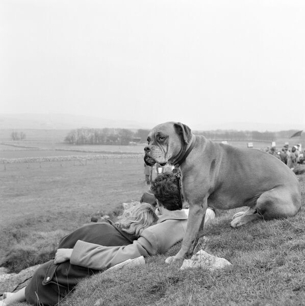 FLAGG MOOR, Flagg, Derbyshire. A boxer dog sat on a bank with spectators watching the Flagg Races point-to-point steeplechase on Flagg Moor, Derbyshire, a race traditionally held on Easter Tuesday each year. Photographed by John Gay in 1959