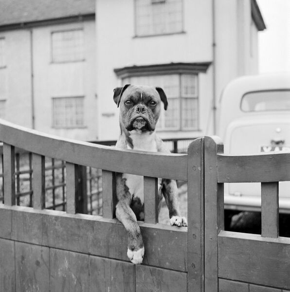 A boxer dog looking over the garden gate of a house, Aspenden, Hertfordshire. Photographed by John Gay, March 1960