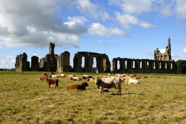 BYLAND ABBEY, North Yorkshire. Abbey viewed from the north east, with cows in the foreground