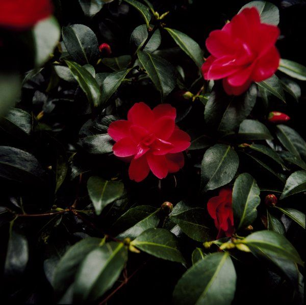 BELSAY HALL, CASTLE & GARDENS, Northumberland. Camellia red flowers and leaves