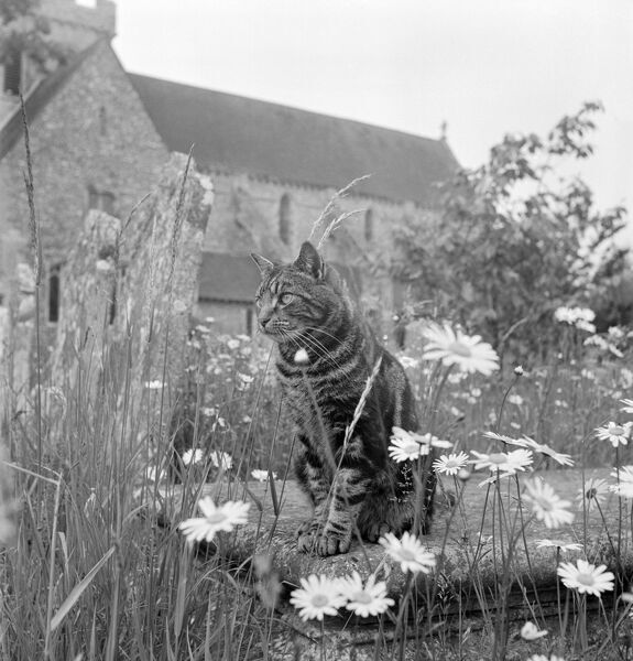BOXGROVE PRIORY, West Sussex. A view of a tabby cat sat on a chest tomb overgrown with grasses and large daisy flowers, in the graveyard immediately to the south of the Priory Church of St Mary and St Blaize. John Gay. Date range: 1950 - 1965
