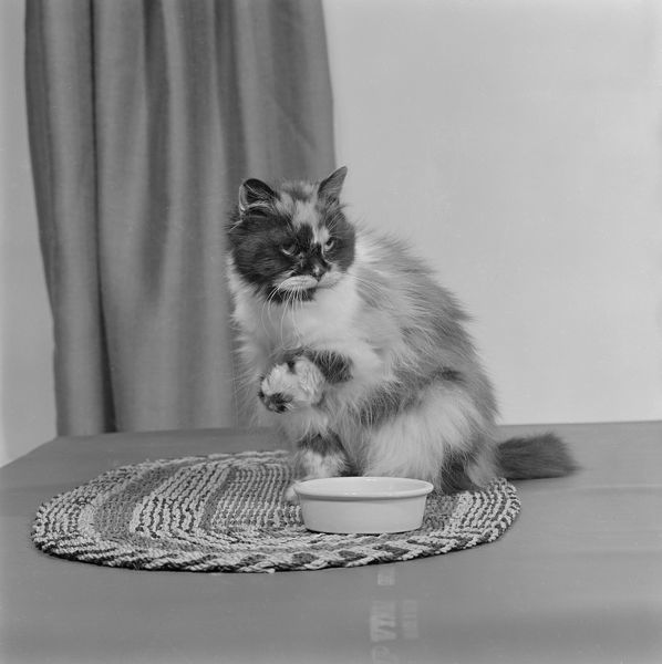 A long haired tortoiseshell cat sitting on a mat beside a bowl of food. Photographed by John Gay in 1970