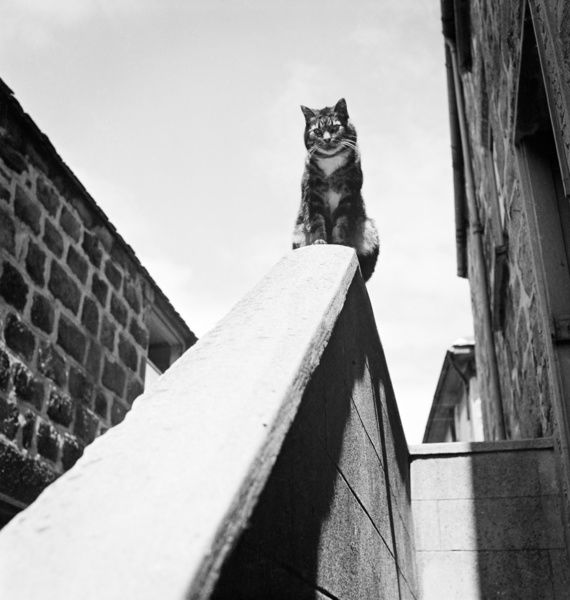 A tabby cat sitting on top of a wall beside a house, and staring down a sloping handrail towards the camera. Photographed in Cornwall by John Gay, 1950