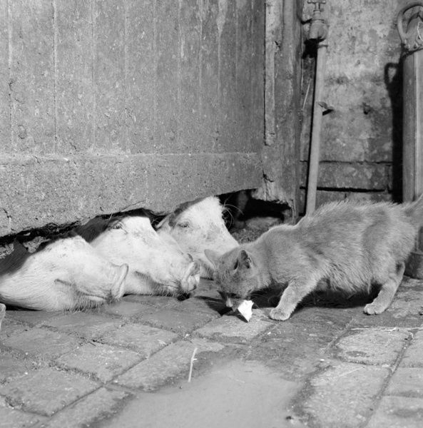 A cat eating off the ground at a farm in North Shropshire, in front of the snouts of three pigs with their heads under a gate. Photographed by John Gay, 1960s