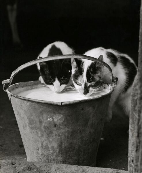 Two cats drinking milk from a pail. Part of a series of cats photographed by John Gay (active 1946-1980)