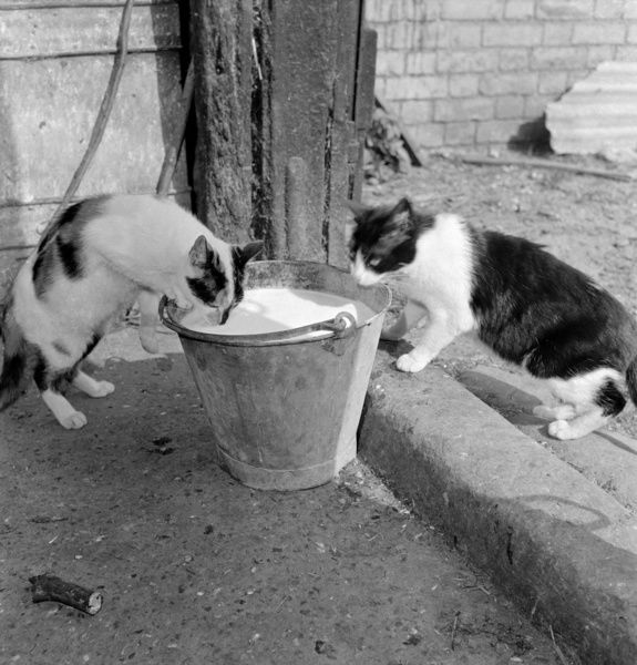 Two cats drinking from a pail of milk. Photographed by John Gay in Hertfordshire, 1950s-60s
