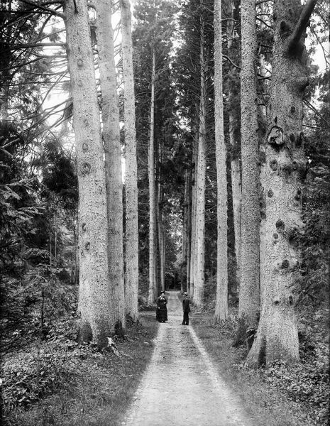 CIRENCESTER PARK, Gloucestershire. A couple talk on one of the paths between the Catherdal Firs. The park was laid out between 1715 and 1740, and is a good example of the Forest Style of gardening, with radiating paths in extensive woodlands