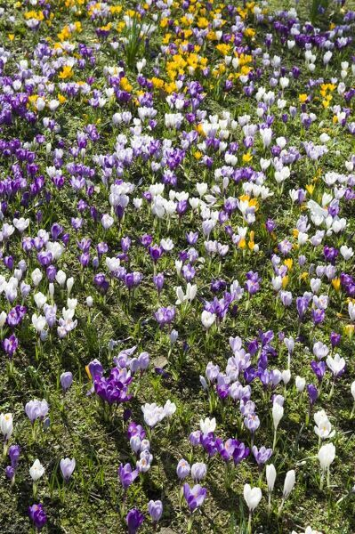 Spring flowers. A bed of Crocuses