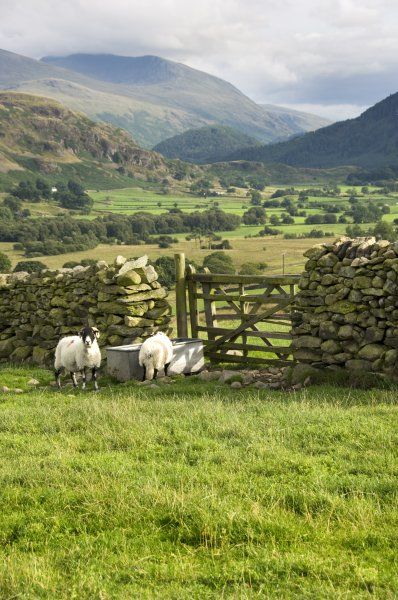 CASTLERIGG, Cumbria. A gate in a dry stone wall with sheep drinking from a trough in the foreground. View to the Cumbrian fells beyond