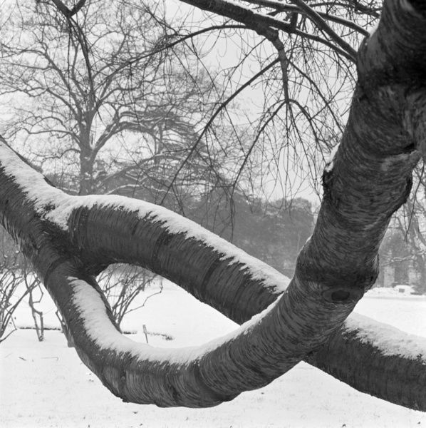 KEW, Greater London. Two curving tree branches forming a loop covered in snow in a snowy landscape at Kew. Photographed by John Gay. Date range: Jan 1962 - May 1964