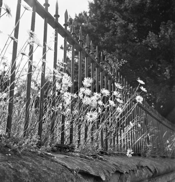Large daisies growing through spear-headed railings atop a low stone-coped wall. Probably in West Sussex. Photographed by John Gay. Date range:1950-1965