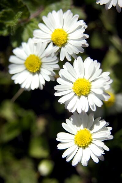 Detail of daisy flowers