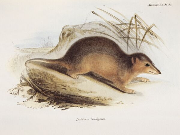 "DOWN HOUSE, Kent. Coloured engraving of an Oppossum ""Didelphis Brachyura"" from ""The Zoology of the Voyage of HMS Beagle, Part II Mammalia"". Plate XXXII. Edited by Charles Darwin"