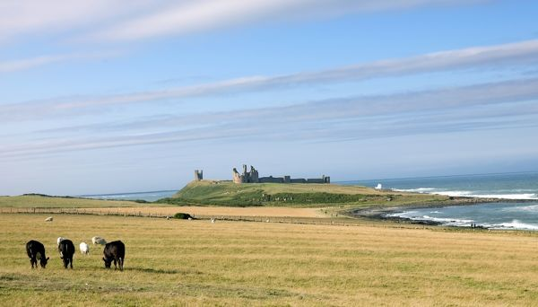 DUNSTANBURGH CASTLE, Northumberland. Castle and coast from the south. Cows and sheep grazing