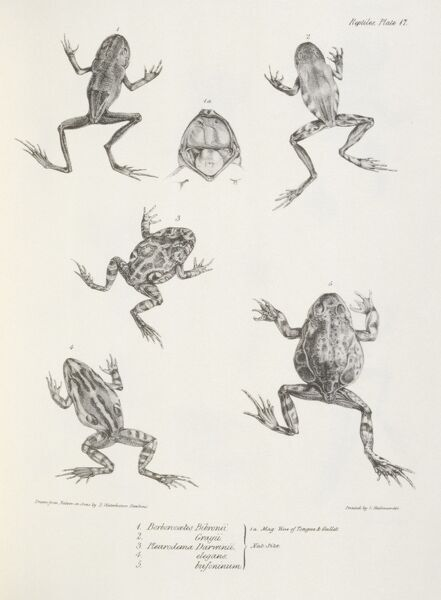 "DOWN HOUSE, Kent. Engraving of frogs including ""Pleurodema Darwinii"" from ""The Zoology of the Voyage of HMS Beagle, Part V Reptiles"". Plate XVII. Edited by Charles Darwin"