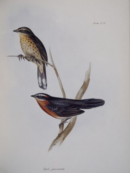 "DOWN HOUSE, Kent. Two Galapagos finches drawn by John Gould. Illustration from ""The Zoology of the Voyage of HMS Beagle"" part 3"