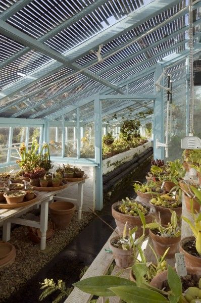 DOWN HOUSE, Kent. Interior view of the greenhouse with benches filled with orchids insectivorous and climbing plants