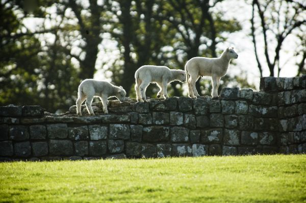 HADRIAN'S WALL: HOUSESTEADS FORT, Northumberland. Sheep climb on wall to get a high vantage point. hadrian