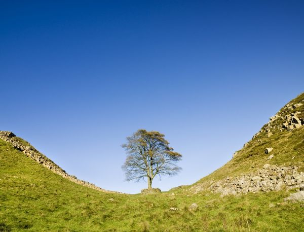 HADRIAN'S WALL, Northumberland. Sycamore Gap near Steel Rigg. View towards the Roman wall with the sycamore prominent against a bright blue sky. Used as a film set for Robin Hood Prince of Thieves. hadrian