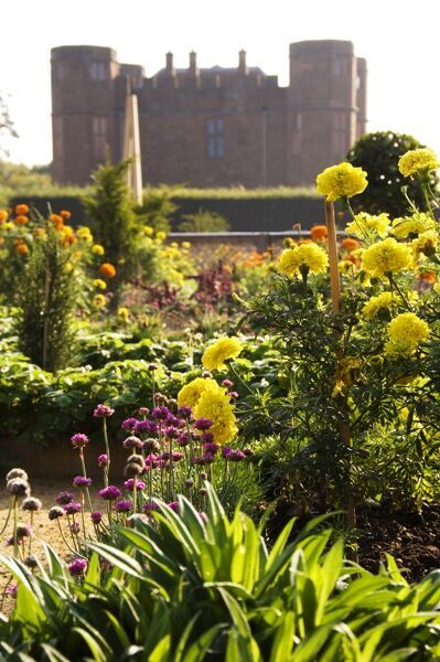 KENILWORTH CASTLE, Warwickshire. The Elizabethan Garden. Detail of bedding plants with Leicester's Gatehouse beyond