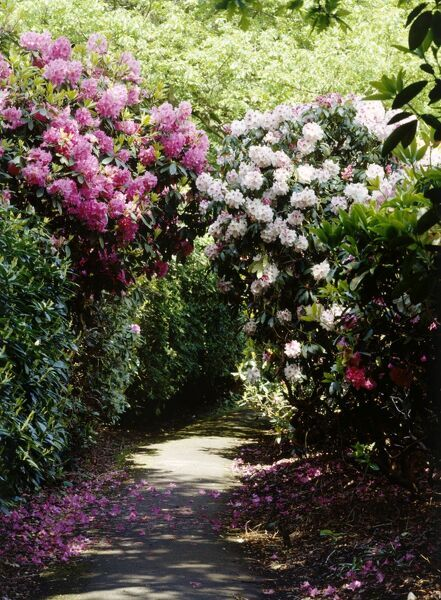 KENWOOD HOUSE, Hampstead, London. The gardens. A path leads beneath flowering rhodedendrons