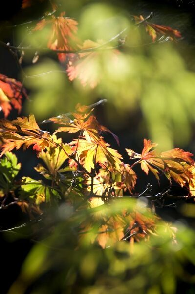 Detail of Maple leaves in Autumn