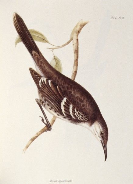 "DOWN HOUSE, Kent. Coloured engraving of Mocking Bird ""Mimus Trifasciatus"". ""The Zoology of the Voyage of HMS Beagle Part III Birds"" Plate XVI"