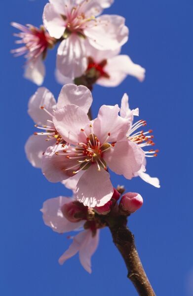 "AUDLEY END HOUSE AND GARDENS, Essex. The Kitchen Garden vinehouse. Detail of peach blossom Prunus Persica ""Peregrine&quot"
