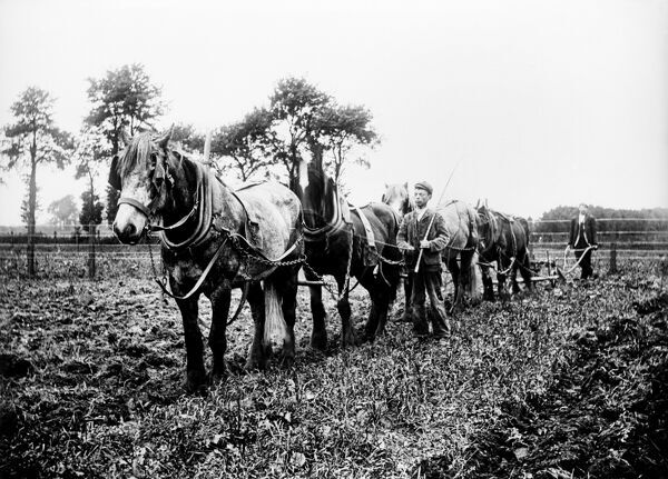 A view showing a horse and plough team at work possibly in Ilmer, Whiteleaf or Monks Risborough, Buckinghamshire. Photographed by Alfred Newton and Son. Date range: 1896-1920