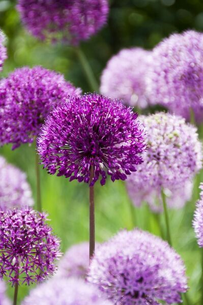 A detail image of purple alliums