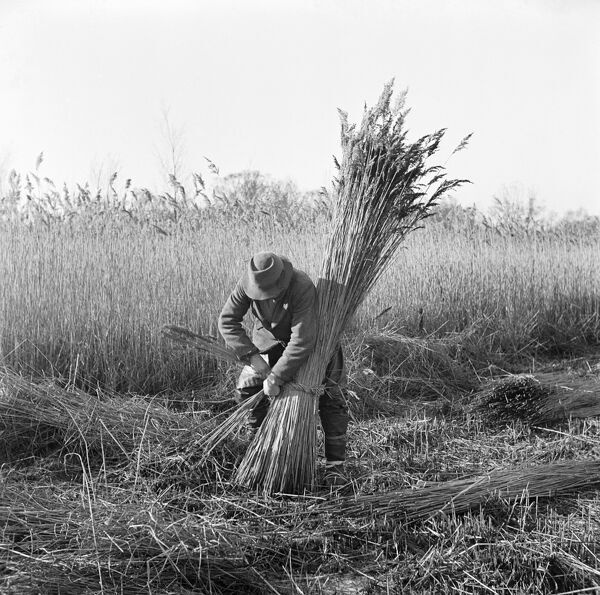 Horning Ferry, Norfolk. Reed cutter bundling reeds on Woodbastwick Marshes. Photographed by Hallam Ashley in February 1949