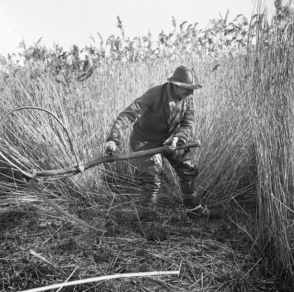 Horning Ferry, Norfolk. Cutting reeds with a scythe on Woodbastwick Marshes. Photographed by Hallam Ashley in February 1949