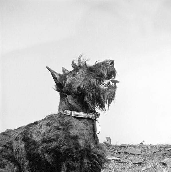 A portrait of a black Scottish Terrier or Scottie dog by John Gay. Date range: 1964 - 1974
