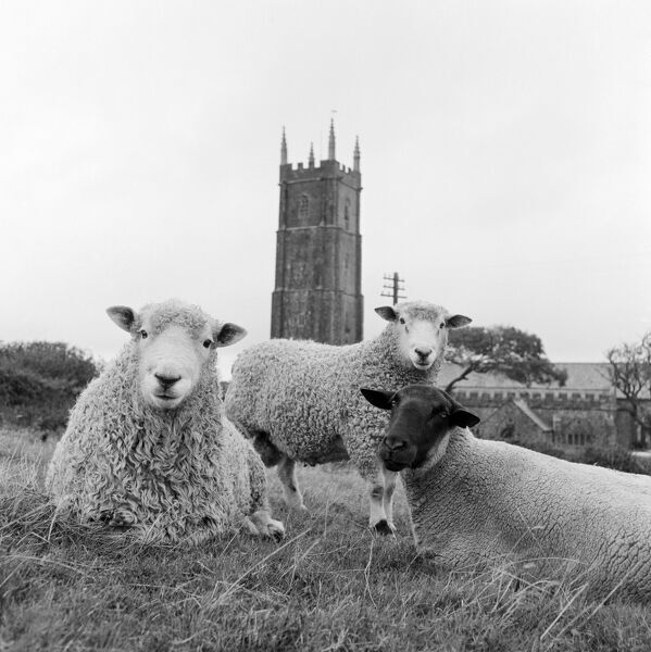 A close-up of three sheep in a field, seen from ground-level, with the tall tower of an unidentified church in the background. Photographed by John Gay. Date range 1950 - 1960