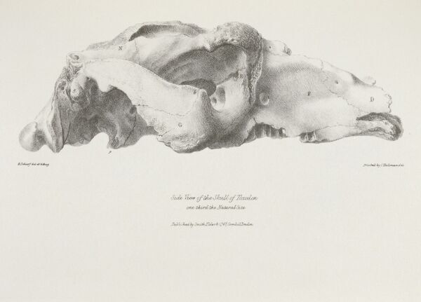 "DOWN HOUSE, Kent. ""Side View of the Skull of Toxodon"" engraving from ""The Zoology of the Voyage of HMS Beagle, Part I Fossil Mammalia"". Plate II. Edited by Charles Darwin"