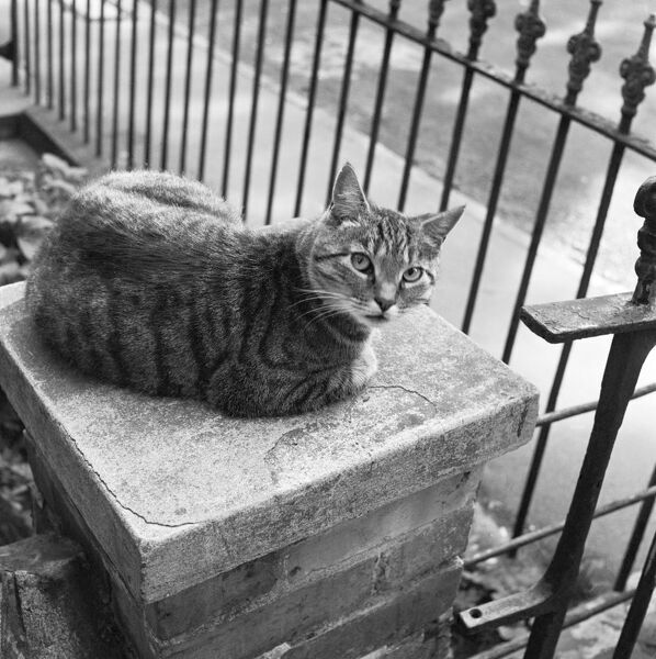 A tabby cat sitting on the top of a gatepost looking warily at the camera. Photograph taken by John Gay in Hampstead, London. Date range: January 1962 - May 1964