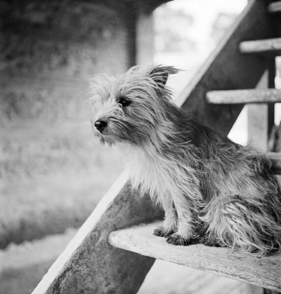 A close-up view of a small terrier dog, seated on a set of open-tread wooden steps within a farm building