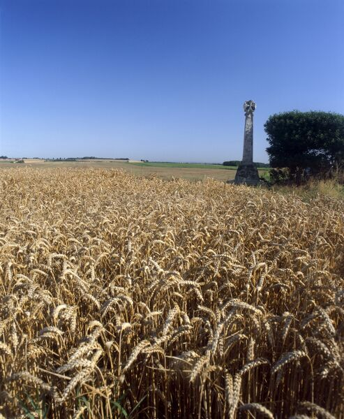 TOWTON BATTLEFIELD, North Yorkshire. Site of battle of 1461. Stone cross and wheat field. Cereal grain