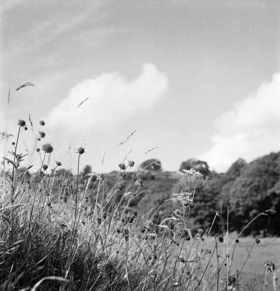 A close-up of grasses and wildflowers growing on a bank in the Somerset countryside, with a rural landscape and woodland in the background. Photographed by John Gay. Date range: 1950-1965