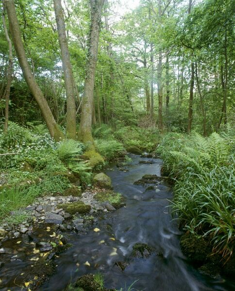 STOTT PARK BOBBIN MILL, Cumbria. Ransoms (Allium ursinum) and stream in nearby coppiced woodland