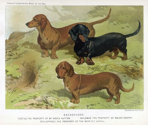 Three varieties of dachshund - smooth, red, and black-and-tan