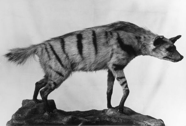 A stuffed Aardwolf, similar to a hyena, native to southern and eastern Africa, which feeds mainly on termites and insect larvae. Yellowish grey fur with black stripes. Date: 1930s