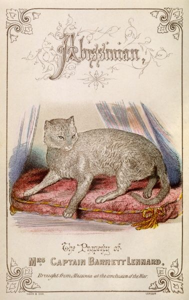An Abyssinian cat on a cushion, owned by Mrs Captain Barrett Lennard